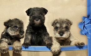 Picture puppies, tape, bow, trio, Trinity