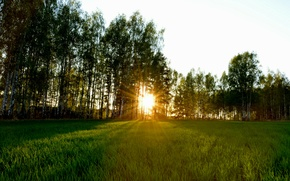 Picture grass, sunset, nature, dawn, glade, birch, twilight, the edge, birch