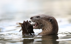 Picture water, fish, otter