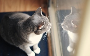 Picture cat, reflection, grey, wool