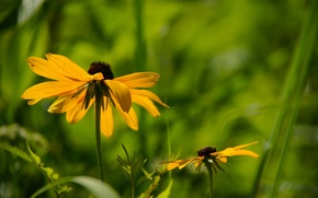 Picture grass, leaves, flowers, background, yellow, rudbeckia