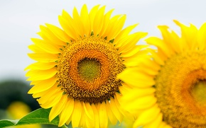 Picture the sky, flowers, sunflower, petals