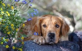 Wallpaper dog, face, flowers, Retriever