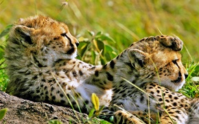 Picture stay, observation, Cheetahs