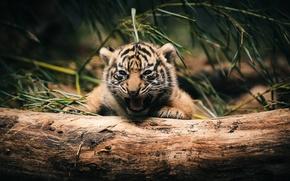 Picture green, red, black, jungle, yellow, brown, alone, trunk, scrub, Tiger cub