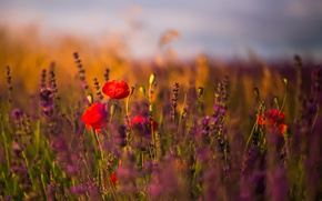 Picture field, flowers, lavender, poppies, sunny