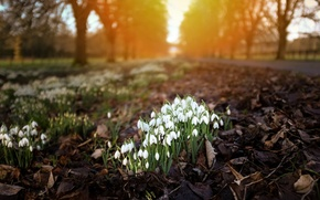 Picture light, flowers, nature, the city, Snowdrops
