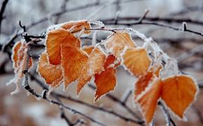 Wallpaper frost, branch, leaves