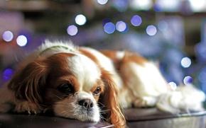 Wallpaper dog, sofa, look, lights, puppy, bokeh