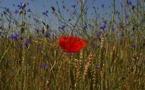 Picture field, the sky, flowers, Mac, petals, ears
