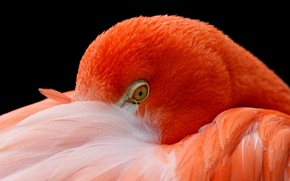 Picture bird, head, feathers, Flamingo