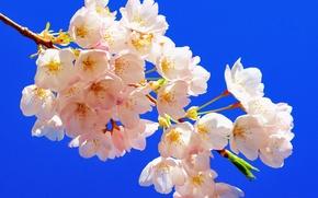 Wallpaper macro, cherry, background, branch, flowering, flowers