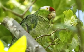 Picture bird, parrot, Selenodesy Amazon