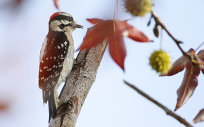Picture tree, bird, feathers, woodpecker, tail