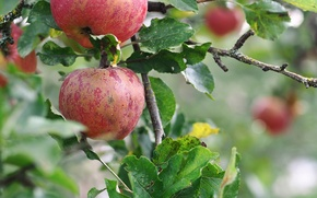 Picture macro, apples, branch, red