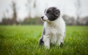 Picture grass, grey, dog, meadow, puppy, Wallpaper from lolita777, Aussie