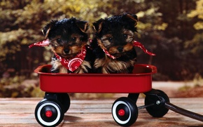 Picture puppies, muzzle, truck