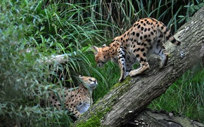 Picture grass, cats, pair, log, Serval