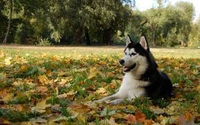 Wallpaper leaves, dog, husky, dog, Malamute