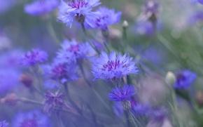 Picture field, summer, flowers, meadow, cornflower