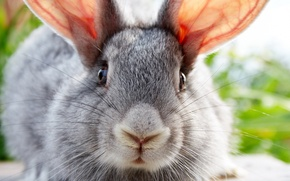 Picture animals, rabbit, eared