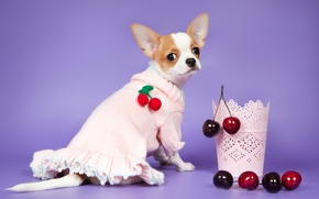 Picture cherry, berries, dress, Chihuahua