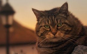 Picture cat, look, muzzle, serious