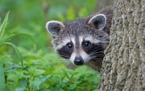 Wallpaper look, raccoon, face