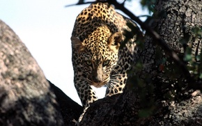 Picture look, leopard, hunting