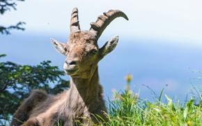 Picture grass, Alpine, ©Tambako The Jaguar, mountain goat, ibex