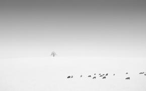 Picture field, sheep, minimalism