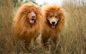 Picture grass, funny, two dogs, hair extensions, red, pair, puppies, breed, nature, dogs, mane, language, Leo, ...