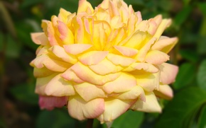 Picture flower, summer, yellow, rose, plant, petals