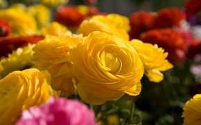 Wallpaper macro, flowers, roses, bouquet, yellow, different
