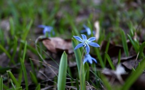 Picture grass, macro, flowers, nature, spring, snowdrop