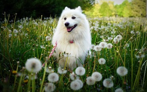 Picture greens, field, white, summer, grass, flowers, nature, glade, dog, meadow, walk, dandelions, face, pretty, Spitz