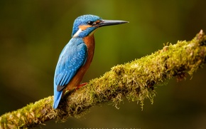 Picture background, bird, branch, Kingfisher