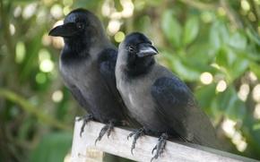 Picture animals, birds, background, Wallpaper, pair, crows, sitting
