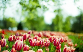 Picture green, flower, nature, tulip
