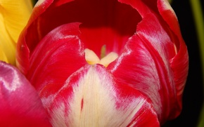 Picture flower, red, Tulip