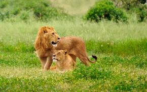 Picture grass, cats, nature, glade, predators, Leo, lioness