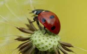 Picture flower, dandelion, ladybug, insect, blade of grass