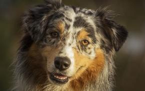 Picture portrait, dog, Wallpaper from lolita777, Aussie