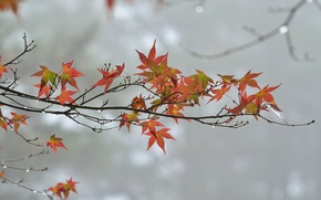 Picture branch, overcast, autumn, leaves, drops