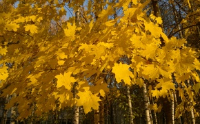 Picture yellow leaves, maple branch, maple in autumn