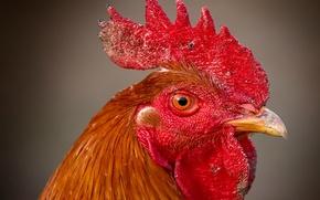 Picture eyes, bird, beak, 156, scallop, Cock