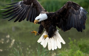 Picture bird, wings, predator, hawk, Bald eagle