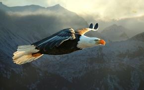 Picture mountains, bird, predator, flight, eagle