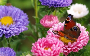 Picture macro, flowers, butterfly, asters, Peacock