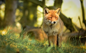 Picture look, predator, red, nature, Fox, forest